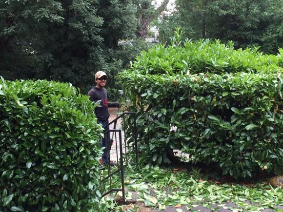 IMG_8533-1 Hedge trim 1.JPG